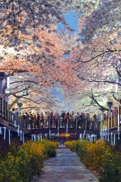 Asia, Republic of Korea, South Korea, Jinhei, Spring Cherry Blossom Festival by Christian Kober