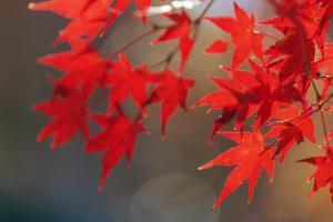 Autumn leaves, Kyoto, Kansai, Japan by Christian Kober