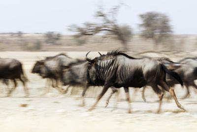 Blue wildebeest , Kgalagadi Transfrontier Park, Kalahari, Northern Cape, South Africa, Africa by Christian Kober