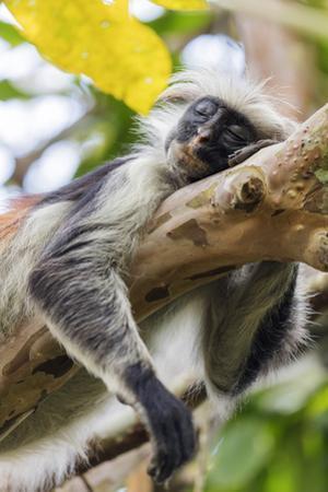 Endemic Red Colobus monkey (Piliocolobus), Jozani Forest, Jozani Chwaka Bay National Park, Zanzibar by Christian Kober