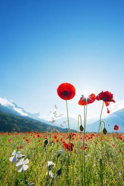 Europe, France, Haute Savoie, Rhone Alps, Poppy Field by Christian Kober