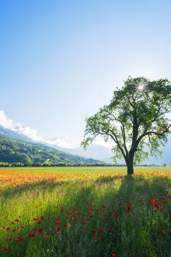 Europe, France, Haute Savoie, Rhone Alps, Poppy Field by Christian Kober