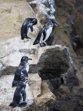 Galapagos Penguins (Spheniscus Mendiculus), Isla Isabela, Galapagos Islands, Ecuador by Christian Kober