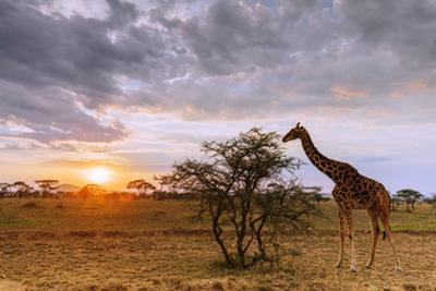 Giraffe (Giraffa camelopardalis) at sunset, Serengeti National Park, Tanzania, East Africa by Christian Kober