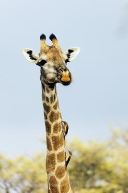 Giraffe (Giraffa camelopardalis) with oxpecker on its neck, Kruger Nat'l Park, South Africa, Africa by Christian Kober