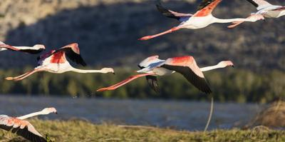 Greater flamingo (Phoenicopterus roseus), St. Augustine, southern area, Madagascar, Africa by Christian Kober