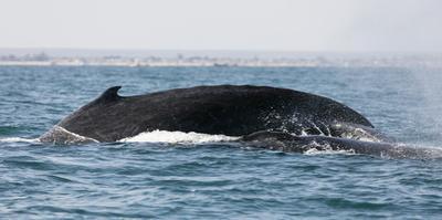 Humpback whale (Megaptera novaeangliae), Anakao, southern area, Madagascar, Africa by Christian Kober