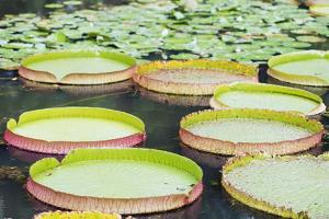 Lily Pads, Botanic Gardens, Singapore, Southeast Asia, Asia by Christian Kober