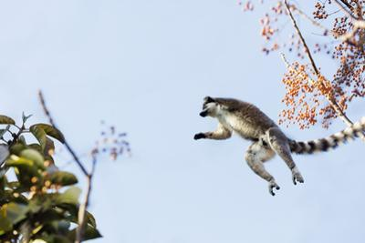 Ring tailed lemurs (Lemur catta) jumping in the trees, Anja Reserve, Ambalavao, central area, Madag by Christian Kober