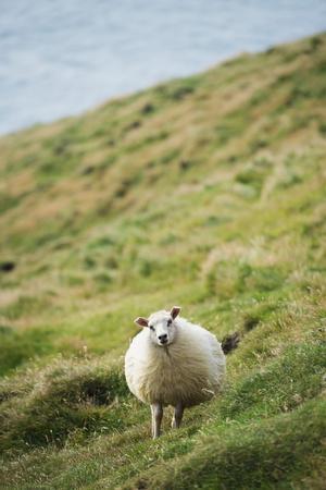 Sheep, Heimaey Island, Vestmannaeyjar, Volcanic Westman Islands, Iceland, Polar Regions