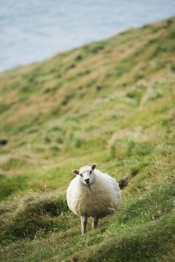 Sheep, Heimaey Island, Vestmannaeyjar, Volcanic Westman Islands, Iceland, Polar Regions by Christian Kober