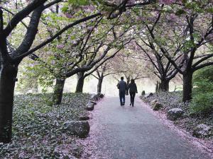 Spring Cherry Blossom, Brooklyn Botanical Garden, Brooklyn by Christian Kober