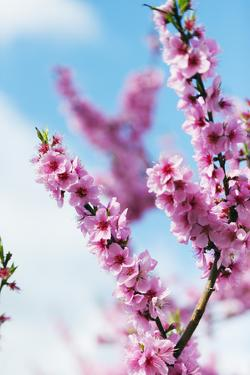 Spring Cherry Blossom Festival, Jinhei, South Korea, Asia by Christian Kober