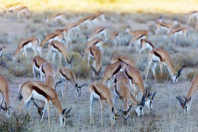 Springbok , Kgalagadi Transfrontier Park, Kalahari, Northern Cape, South Africa, Africa by Christian Kober