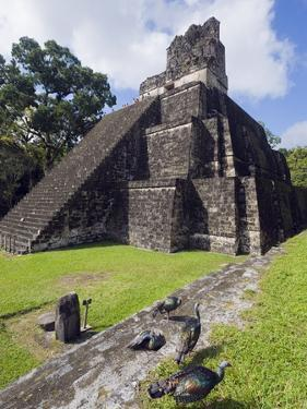 Turkeys at a Pyramid in the Mayan Ruins of Tikal, UNESCO World Heritage Site, Guatemala by Christian Kober