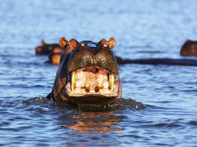 Yawning hippo, Isimangaliso Greater St. Lucia Wetland Pk, UNESCO World Heritage Site, South Africa by Christian Kober