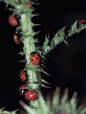 Seven Spot Ladybirds on a Stem (Coccinella Septempunctata)