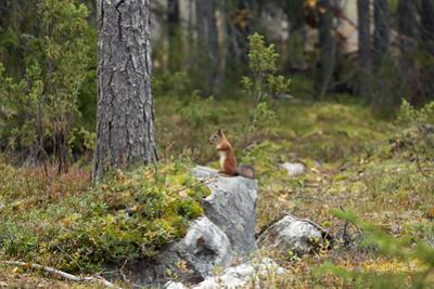 Squirrels, Sciurus Vulgaris, Finland by Christian Zappel