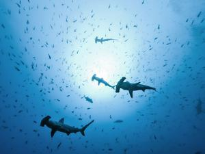 Swarm of Southern Hammerhead, Sphyrna Lewini, Cocos Iceland, Costa Rica by Christian Zappel