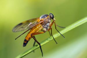 yellow snipe fly, Rhagio tringarius, Murnau, Bavaria, Germany by Christian Zappel