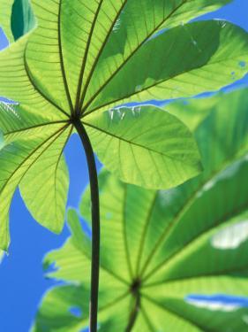 Backlit Leaves, Barro Colorado Island, Panama by Christian Ziegler