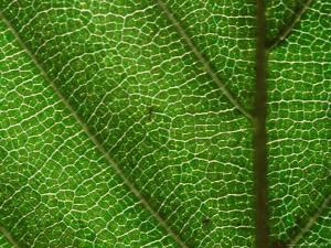 Close-up of Green Leaf, Jasmund National Park, Island of Ruegen, Germany by Christian Ziegler