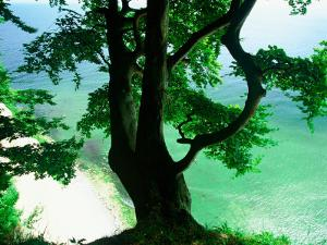 Deep Green Tree and Green-tinted Sea, Jasmund National Park, Island of Ruegen, Germany by Christian Ziegler