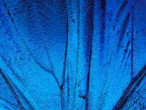 Detail of Blue Morpho Wing, Barro Colorado Island, Panama by Christian Ziegler