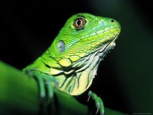 Green Iguana, Borro Colorado Island, Panama by Christian Ziegler
