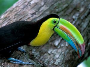 Keel-Billed Tucan with Cicada Approaching Nest, Barro Colorado Island, Panama by Christian Ziegler