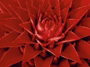 Large Flower of the Pineapple Family, Borro Colorado Island, Panama by Christian Ziegler