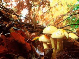 Mushrooms Growing Among Autumn Leaves, Jasmund National Park, Island of Ruegen, Germany by Christian Ziegler