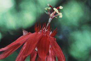 Panama, Barro Colorado Island, Close-Up of Red Passiflora Flower by Christian Ziegler