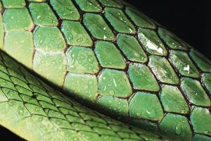 Panama, Central Panama, Barro Colorado Island, Green Parrot Snake by Christian Ziegler