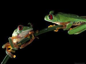 Red-Eyed Tree Frogs, Barro Colorado Island, Panama by Christian Ziegler