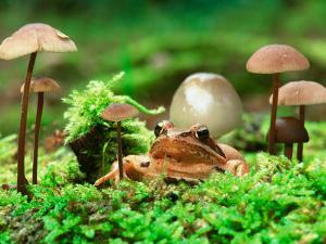 Small Toad Surrounded by Mushrooms, Jasmund National Park, Island of Ruegen, Germany by Christian Ziegler