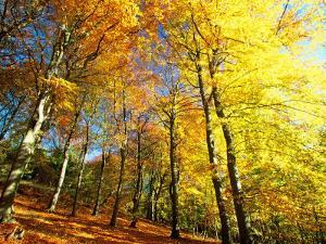 Trees Covered in Yellow Autumn Leaves, Jasmund National Park, Island of Ruegen, Germany by Christian Ziegler