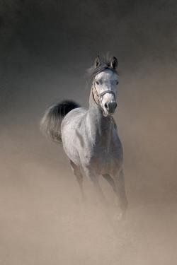 Arabian Horse Running through Dust by Christiana Stawski