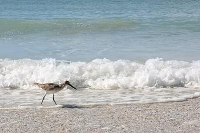 Sandpiper Shore Bird Walking in Ocean on Beach by Christin Lola
