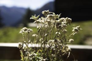 Edelweiss, on an alpine pasture, Switzerland by Christine Meder stage-art.de