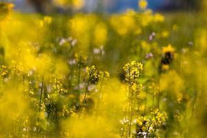 Yellow mustard in full blossom, catch crop, autumn by Christine Meder stage-art.de