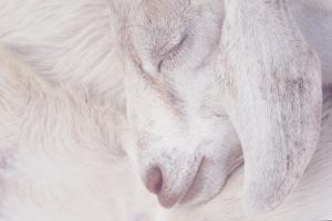 Little White Lamb by Christine Navarre Photography