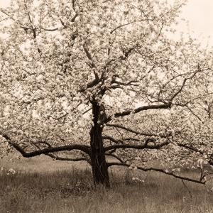 Apple Tree in Bloom by Christine Triebert