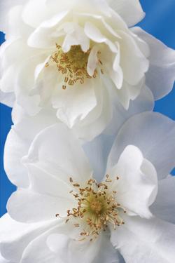 A Pair of White Roses by Christine Zalewski