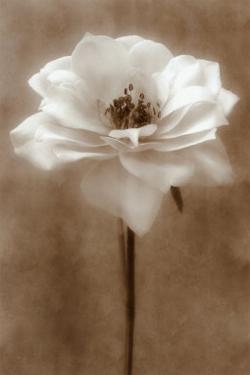 Antique Rose by Christine Zalewski