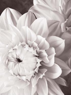 Black and White Dahlias I by Christine Zalewski