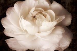 Elegant Ranunculus II by Christine Zalewski