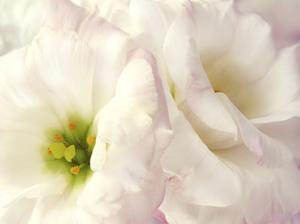 Lily Blush by Christine Zalewski