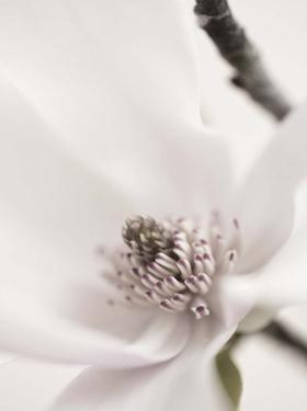 Magnolia Blush II by Christine Zalewski