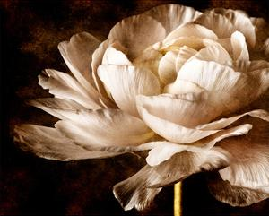 Ranunculus I by Christine Zalewski